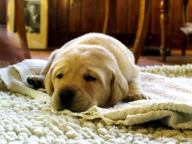 Pet cleaning carpets for optimised cleanliness